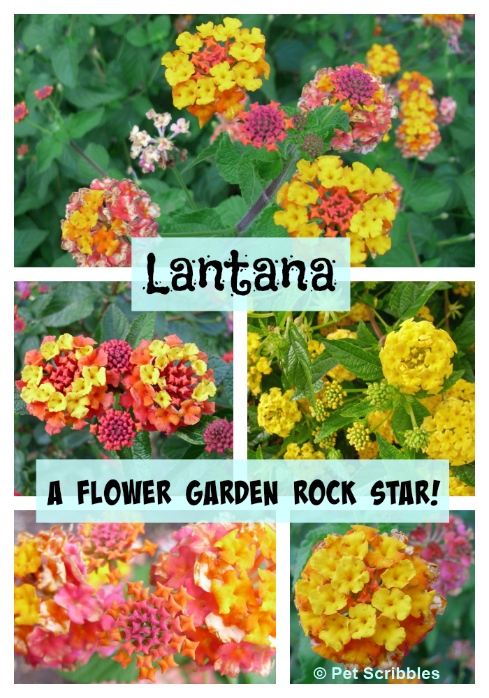 Lantana a flower garden rock star pet scribbles for Easy care flowers for garden