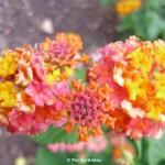 Lantana: A flower garden rock star!