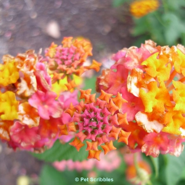 Multi-colored Lantana