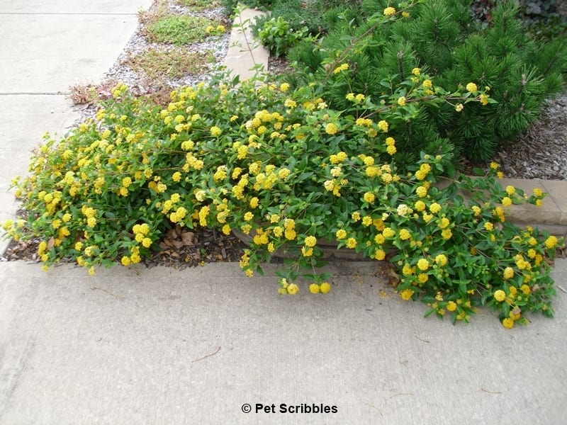 Lantana A Flower Garden Rock Star Pet Scribbles
