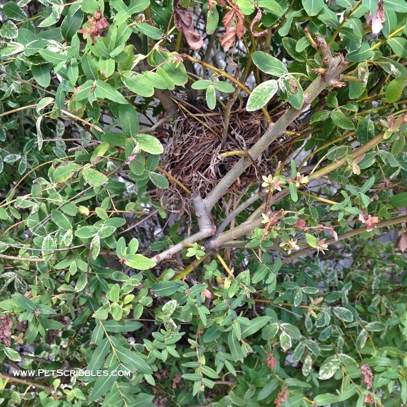 birds nest in dappled willow