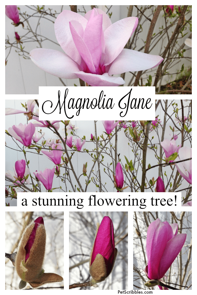 Magnolia Jane: you absolutely need this stunning flowering tree!