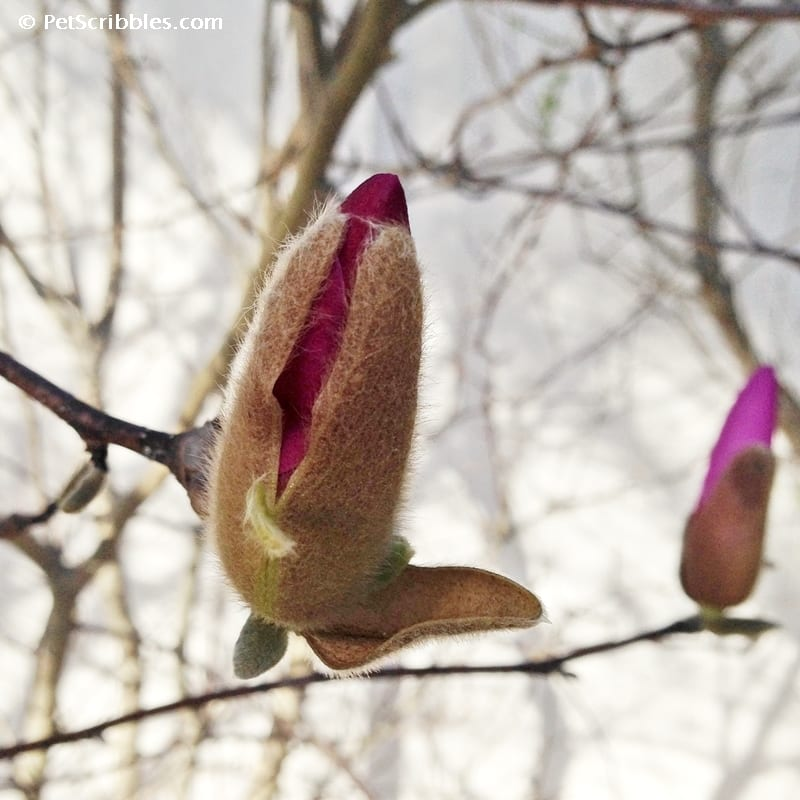 Magnolia Jane buds look like pussy willows