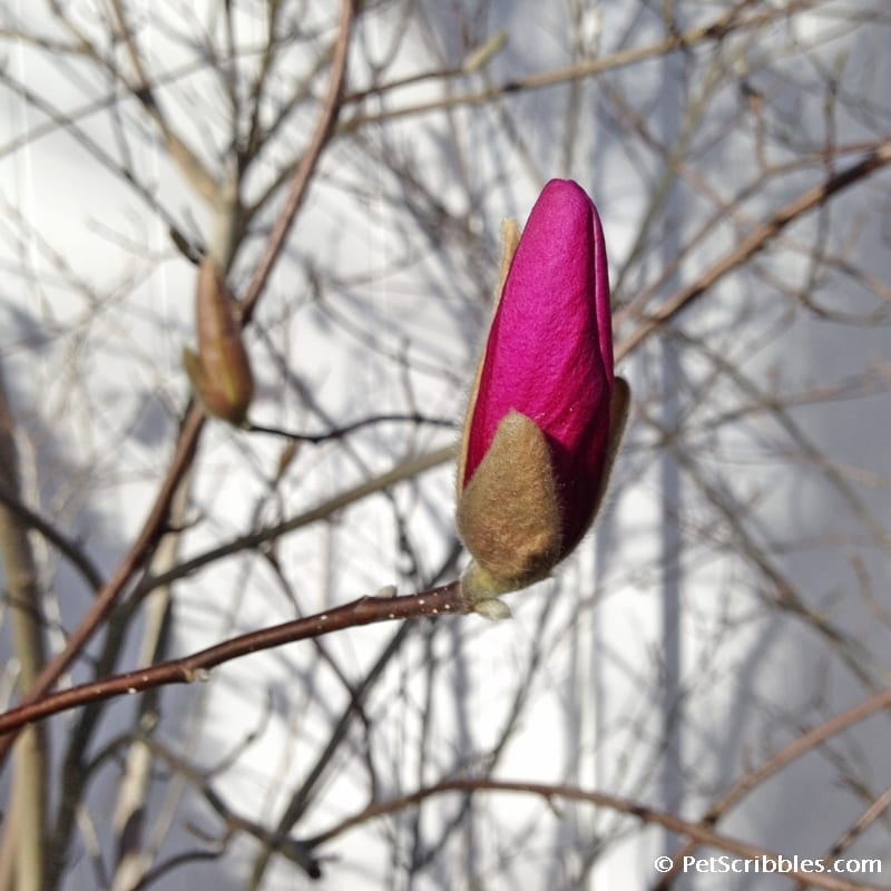 Magnolia Jane flower before it opens