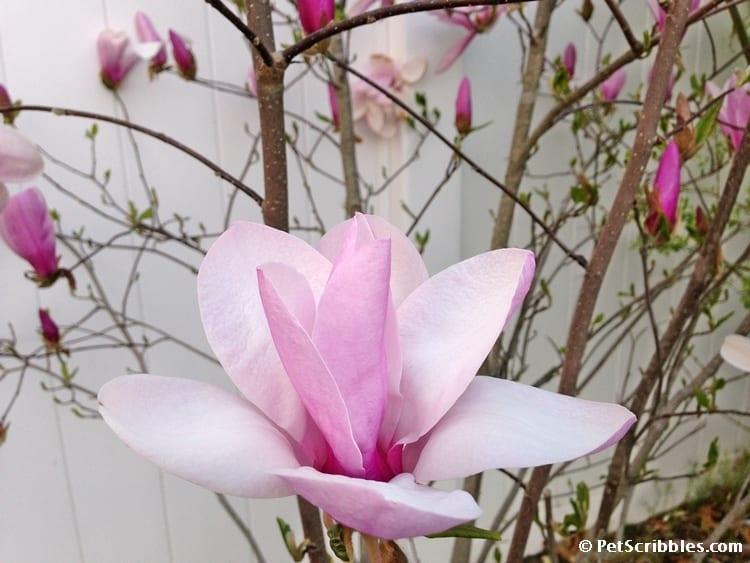 Magnolia Jane flower blossom