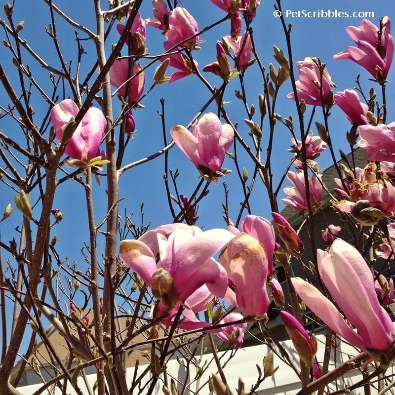 Magnolia Jane in bloom - April 24 -2014