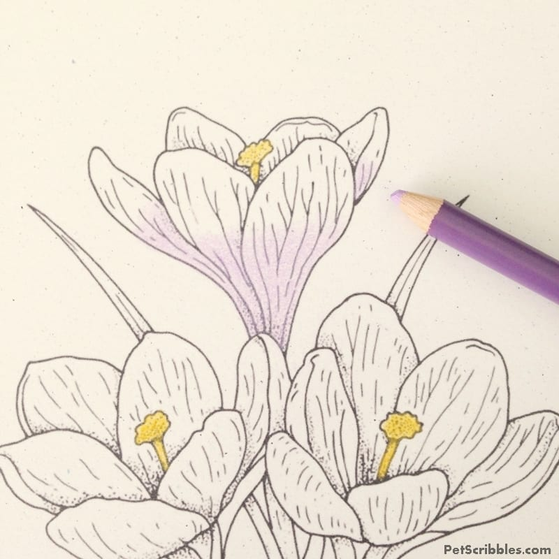 vintage crocus coloring page for free