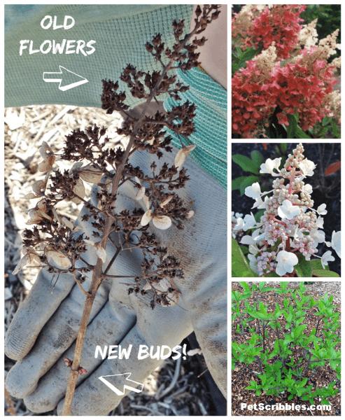 How to prune Pinky Winky Hydrangeas the easy way!