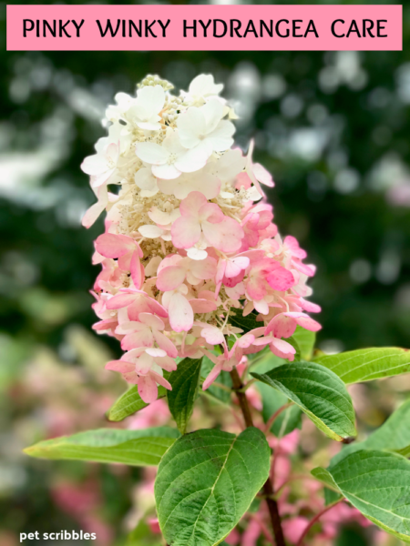 Pinky Winky Hydrangea Care - Your Ultimate Guide