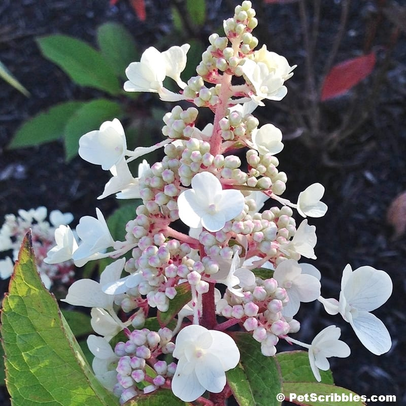How to prune Pinky Winky Hydrangeas the easy way!