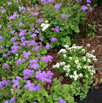 Hardy Ageratum: Beautiful Late Summer and Early Fall Color