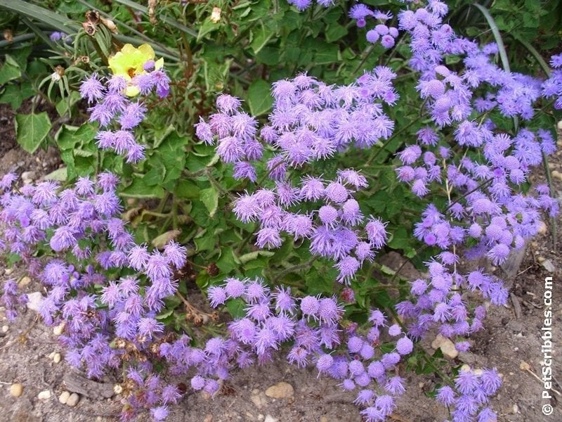 Hardy Ageratum in bloom