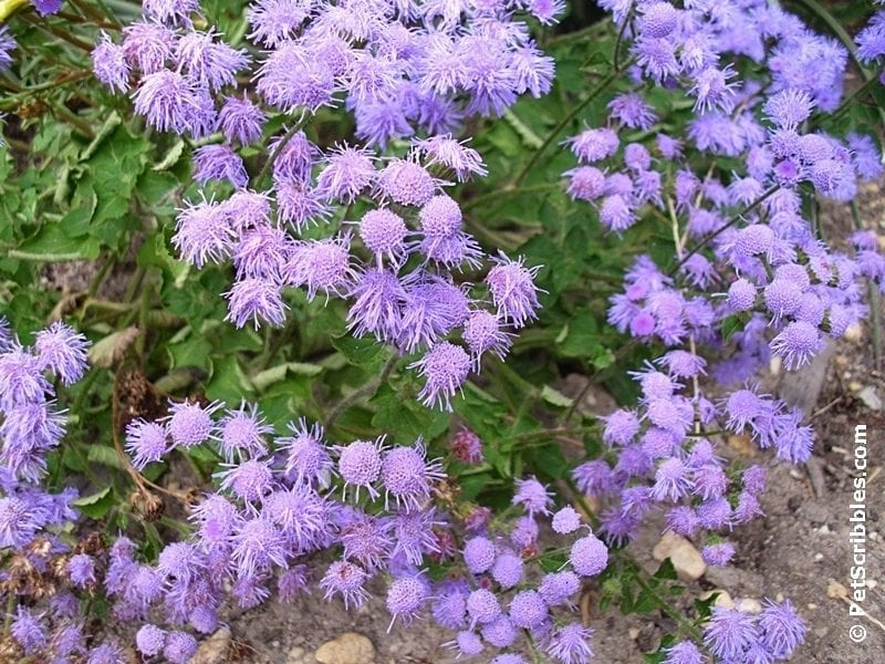 perwinkle flowers of hardy ageratum