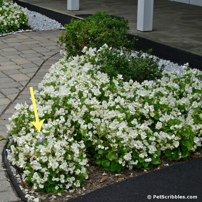 A bed of white begonias with a tiny blue ageratum popping up!