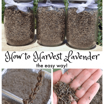 How to Harvest Lavender the easy way!