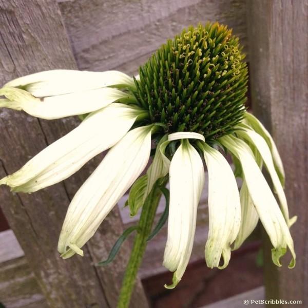 Jade Coneflower in Fall
