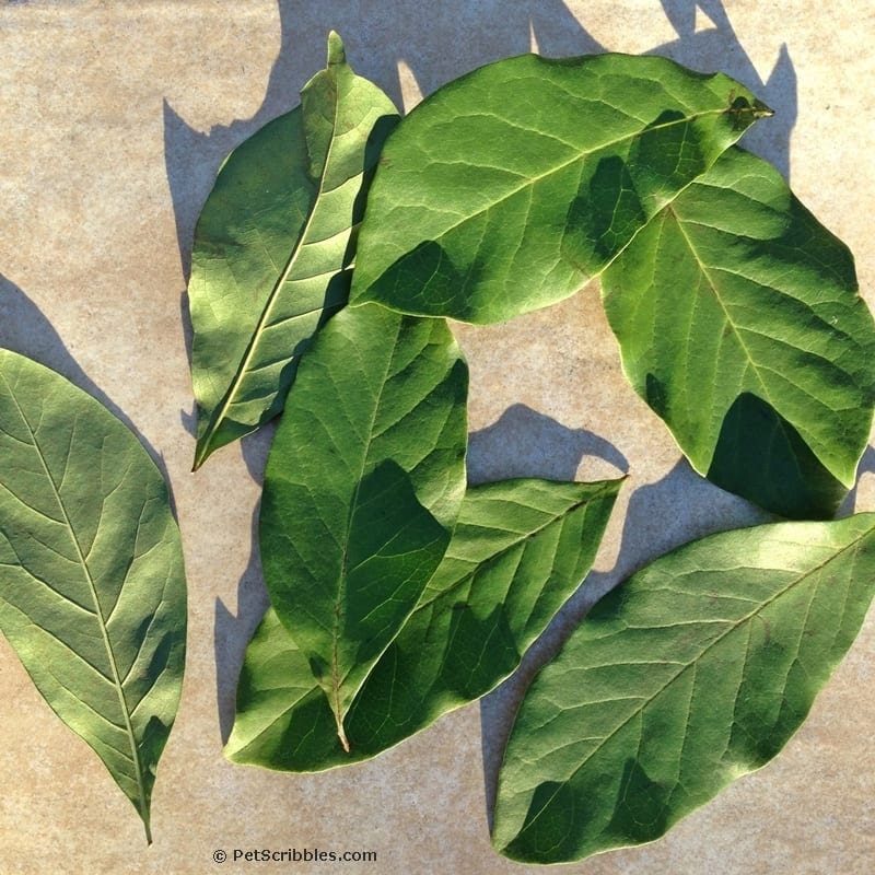 Painted Magnolia Leaves DIY -- how to paint your own for decor, wreaths and weddings!