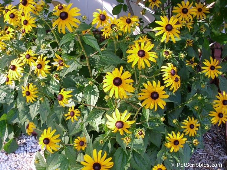 Brown-eyed Susans - wonderfully hardy perennials!