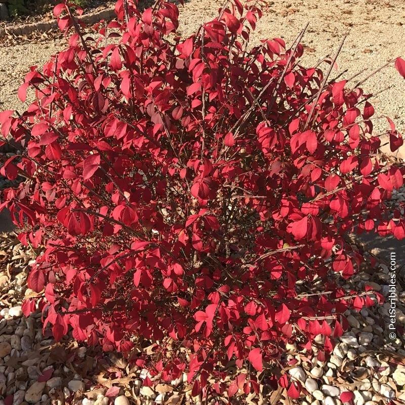 Burning Bush red leaf color in Fall