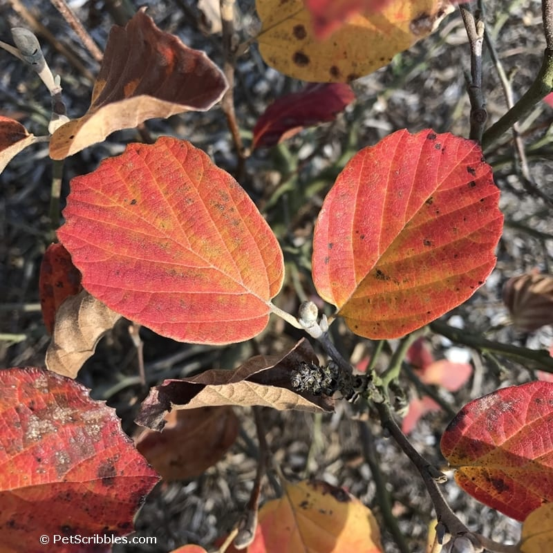 Fothergilla shrub leaves in Fall