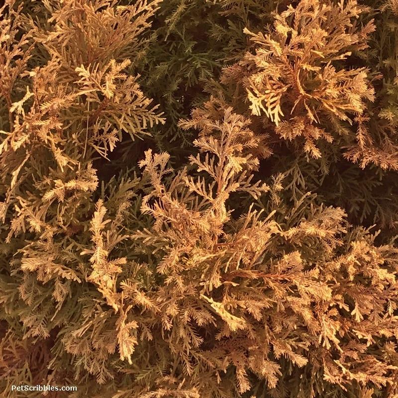 Rheingold copper color in Winter