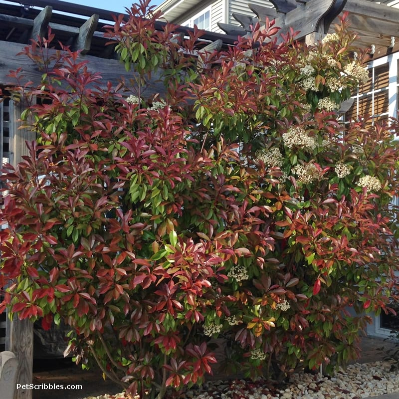Red Tip Photinia is one of my favorite evergreens!
