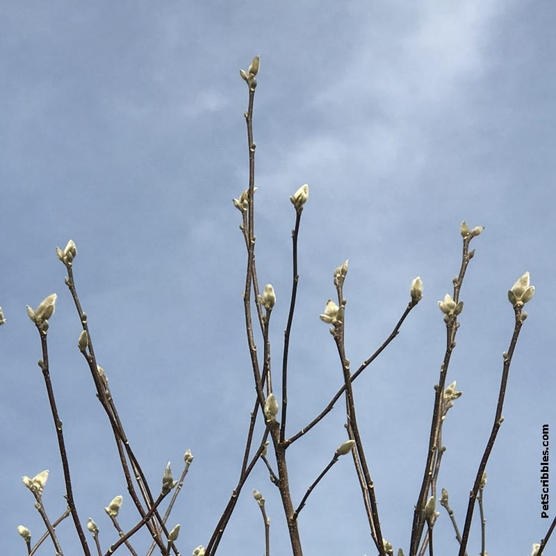 close-up of magnolia jane catkins