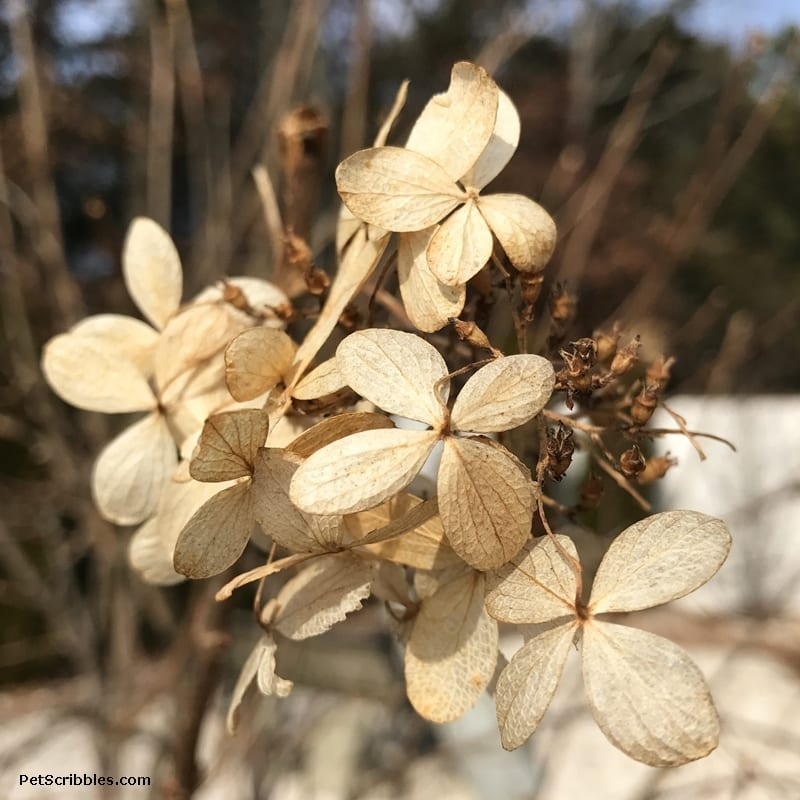 dried hydrangea blossoms in Winter