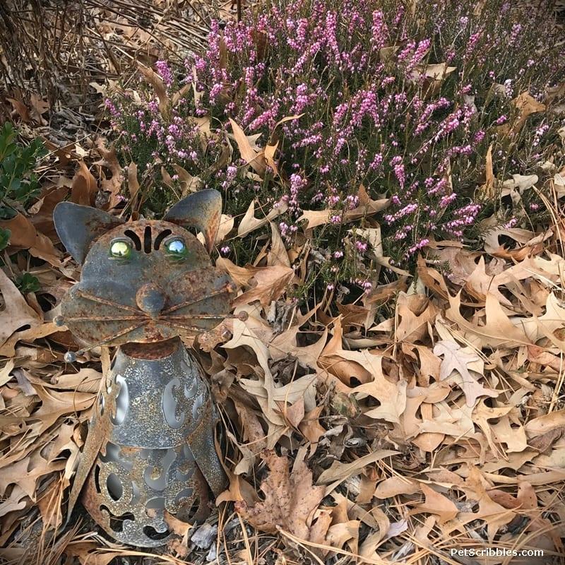 evergreen heather in the Winter garden