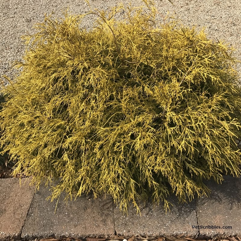 king's gold cypress shrub