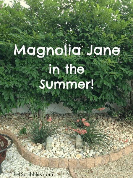 Magnolia Jane in the Summer! Once the Spring blooms are gone, what does it look like?
