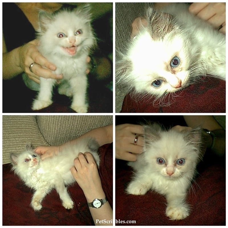 Lulu our ragdoll kitty, when she was only 8 weeks old!