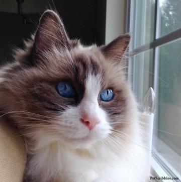 Lulu our Ragdoll girl has the bluest eyes!