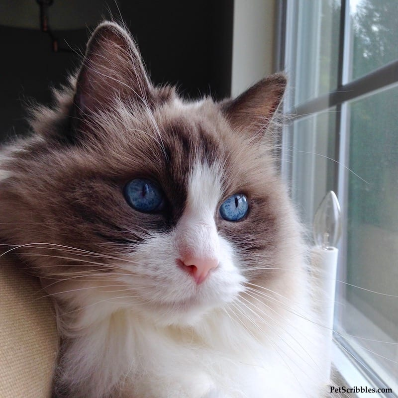Lulu our Ragdoll girl has the bluest eyes!