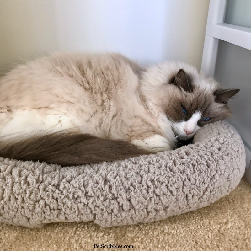 Lulu our Ragdoll cat, in one of her favorite beds!