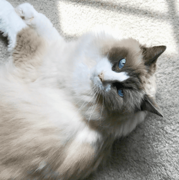 Lulu -- our 17-year-old Ragdoll girl -- is one tough cookie.