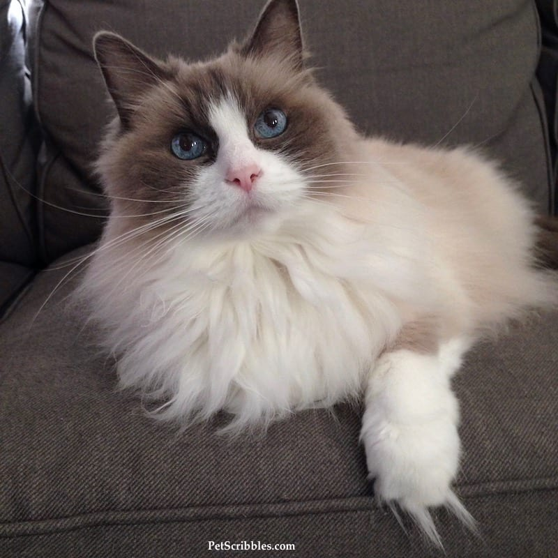 Lulu is our 17-year-old Ragdoll cat!