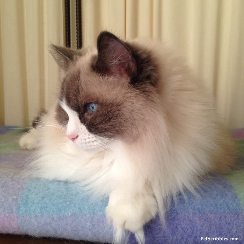 Lulu, our pretty blue bi-color ragdoll girl!