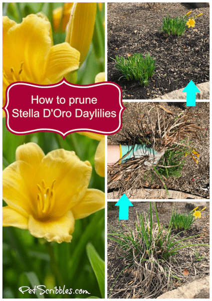 How to Prune Stella D'Oro Daylilies