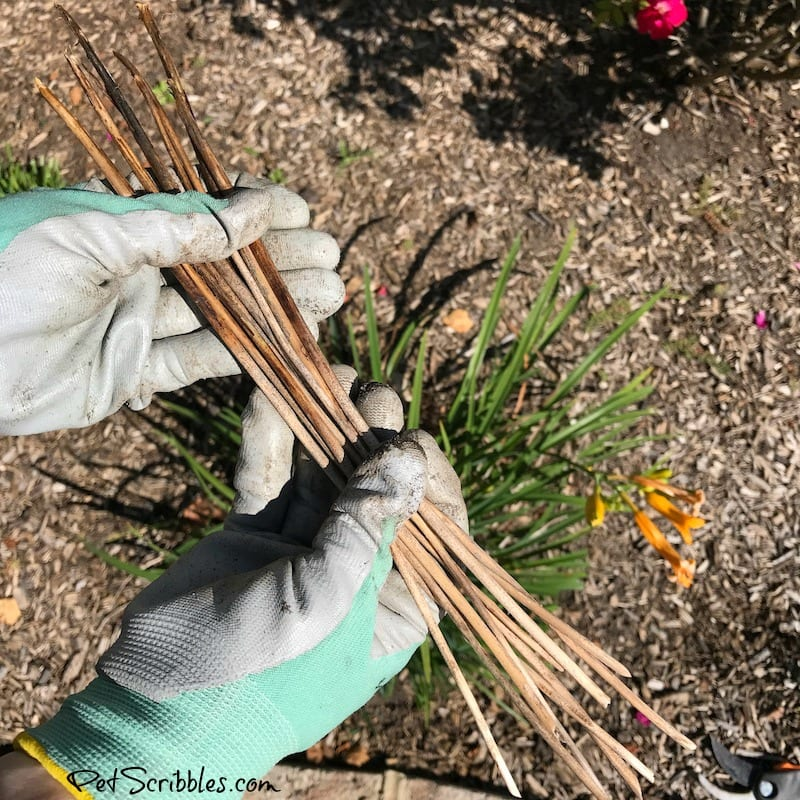 removing dead stems from daylilies