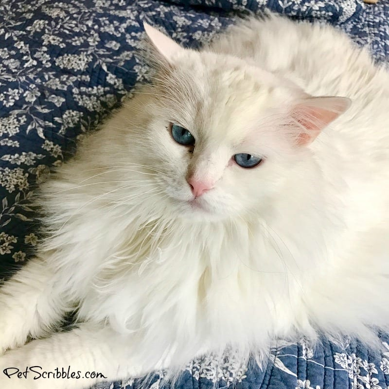 Otto the ragdoll cat