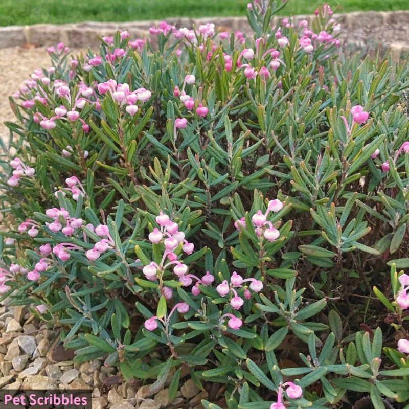 Bog Rosemary (Andromeda Polifolia) in Spring