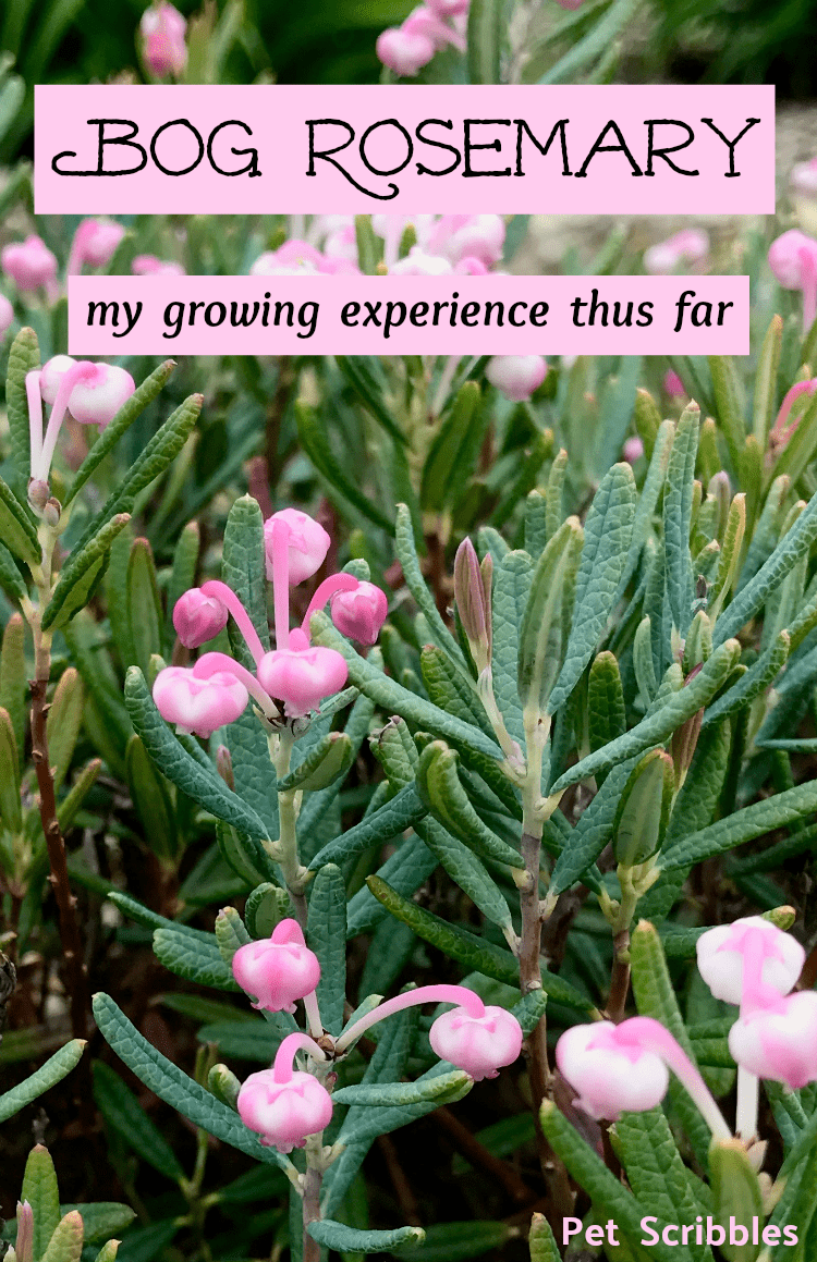 Bog Rosemary Facts You Need To Know Andromeda Polifolia Pet