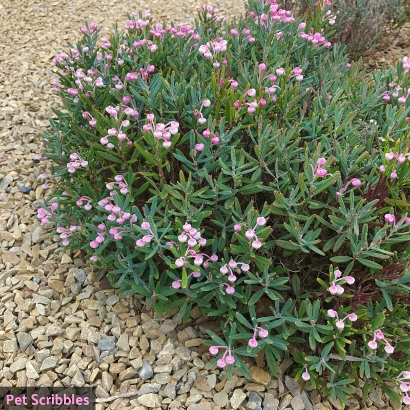 Bog Rosemary Facts You Need to Know (Andromeda Polifolia)
