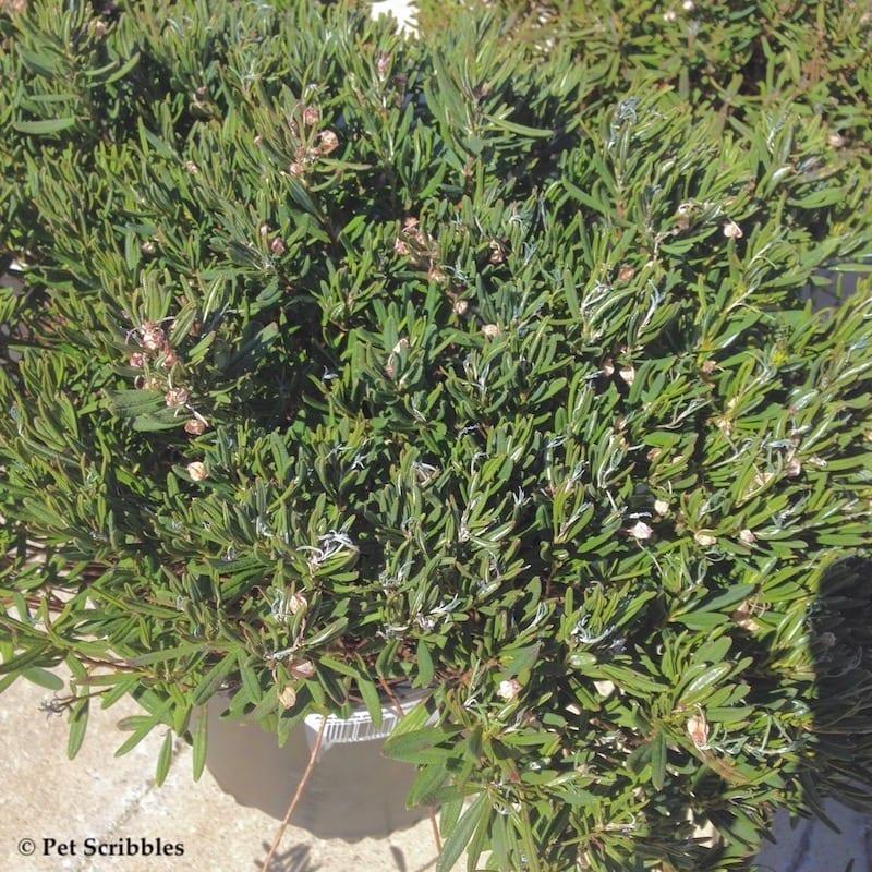 bog rosemary from garden nursery