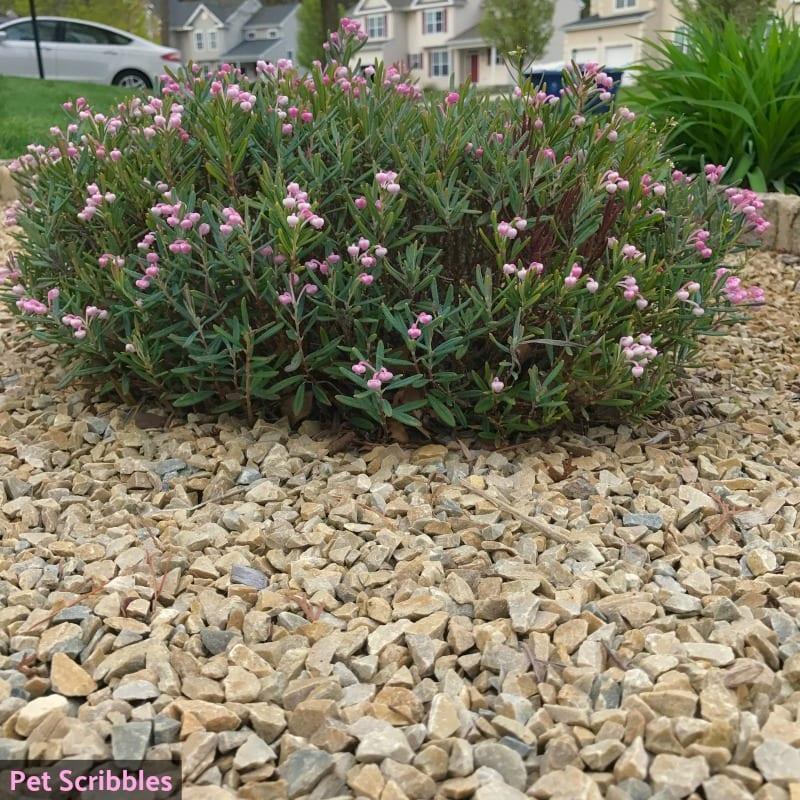 bog rosemary shrublet