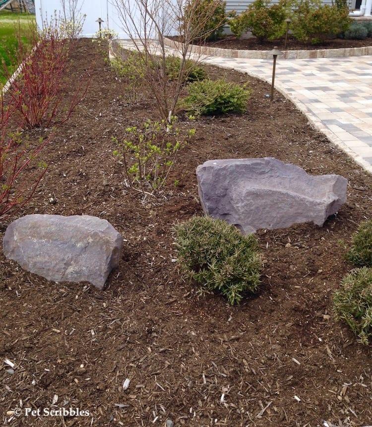 newly planted bog rosemary