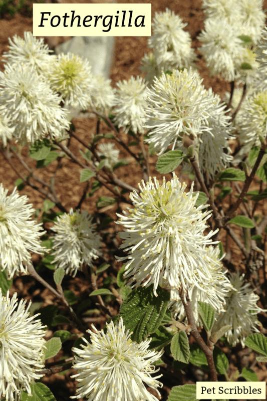 Fothergilla - a unique, easy-care, multi-season flowering shrub!