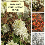 Fothergilla: a unique, easy-care flowering shrub!