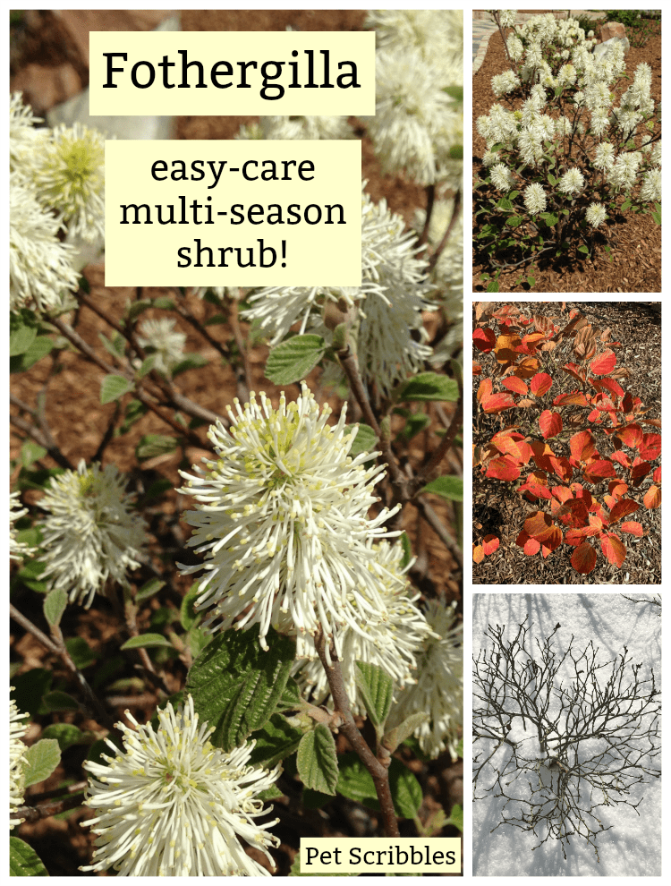 Fothergilla - a unique, easy-care, multi-season flowering shrub!